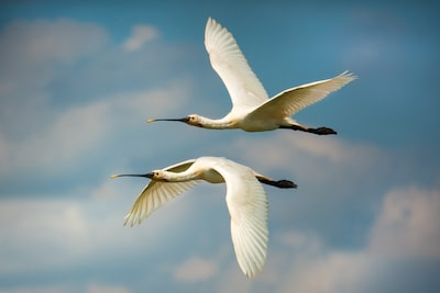 petar-sabol-sony-rx10IV-two-white-birds-flying-asymmetrically-against-blue-sky.