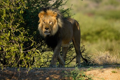 Image of a lion in a shadowed setting